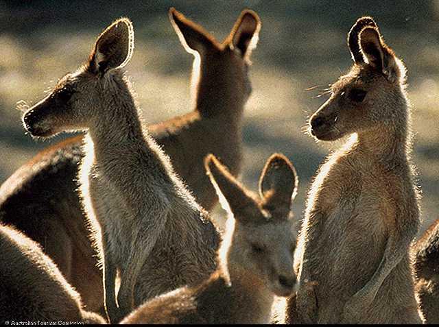 Счастливые кенгуру. www.pomestja.info.  4190 раз(а). 46,69 KB.  Так зазвучим Рождением.